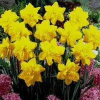 POTTED  GOLDEN DUCAT DOUBLE NARCISSI